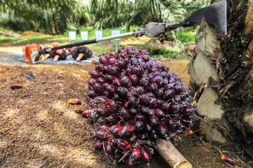 Liberia's largest palm oil project lays off 10% of workforce